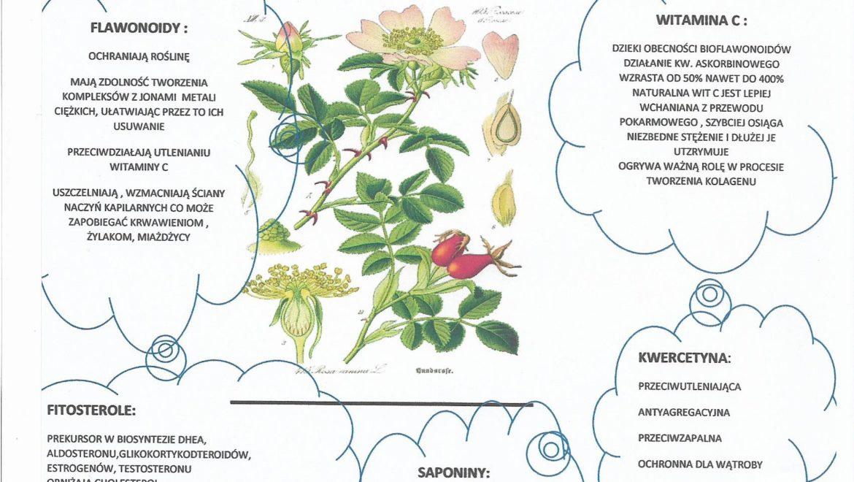Dzika Róża i jej właściwości